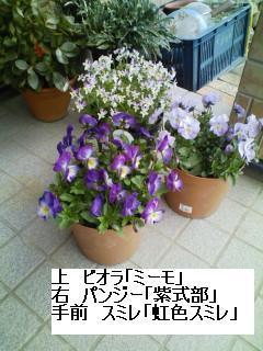 パンジー・スミレ・ビオラ.JPG